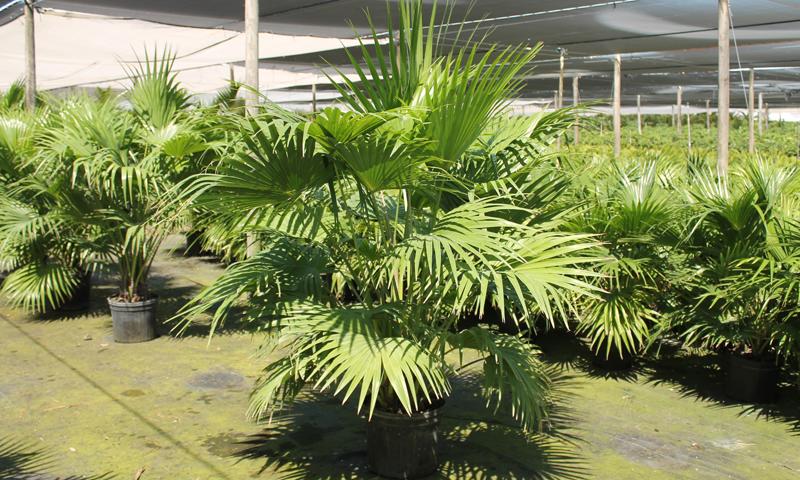 palms_04