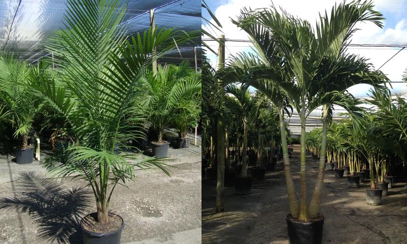 palms_08